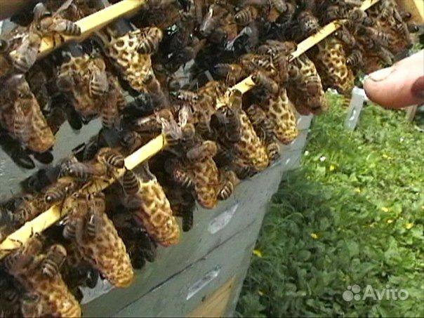 Пчелы породы Карника (краинка) в Советске - фотография № 7