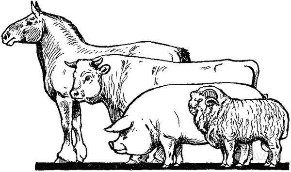 жена корова лошадь овца свинья картинки сохранить тело дочери