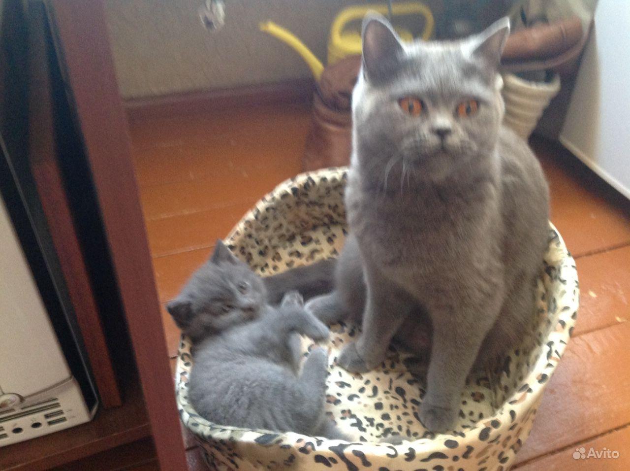 Британская кошечка ищет кота для вязки