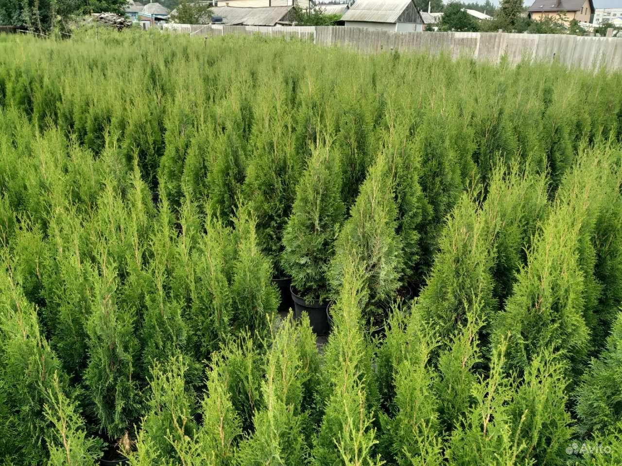 Хвойные растения,Туя (туи,ель,можжевельник) купить на Зозу.ру - фотография № 5