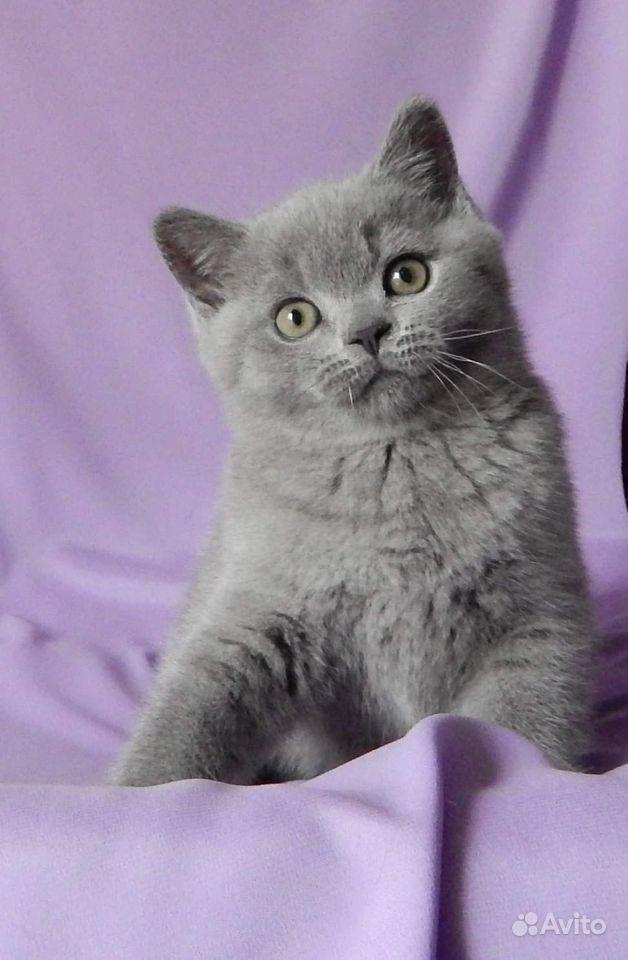 Британские котята в классических окрасах - фотография № 1