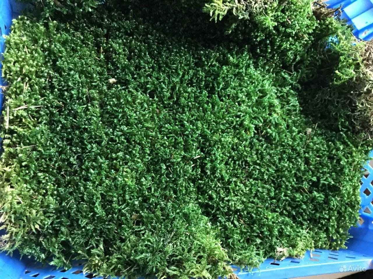 Стабилизированный мох пластовой (толстый) купить на Зозу.ру - фотография № 5