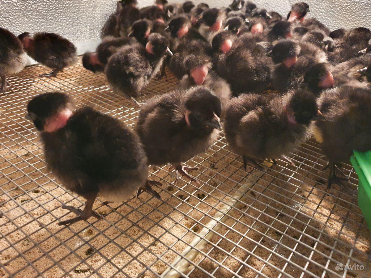 Цыплята Голошейки.Франция купить на Зозу.ру - фотография № 1