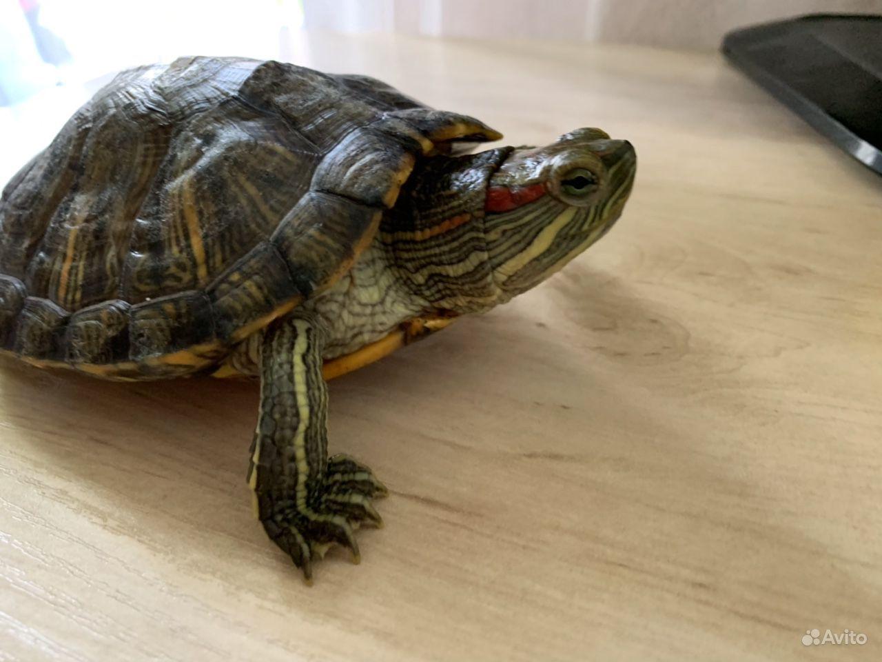 Красноухая черепаха купить на Зозу.ру - фотография № 6