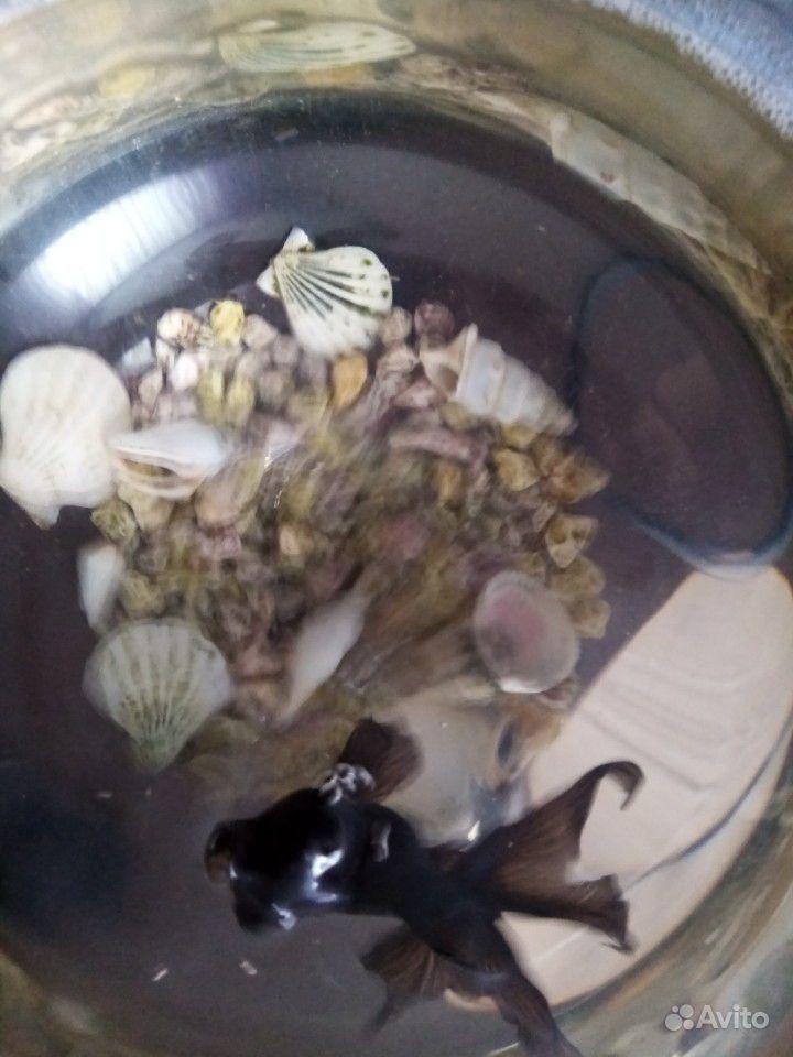 Аквариум рюмка с золотой рыбкой (телескоп) купить на Зозу.ру - фотография № 6