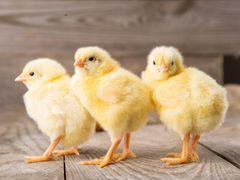 Оптом и розница суточные цыплята Арбор Айкрес