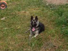 Собака Овчарка 2 года