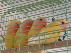 Попугаи Неразлучники птенцы