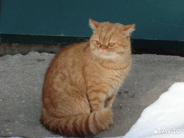 Коты на вязку шотландские воронеж