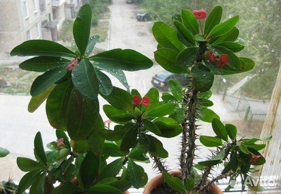 Молочай Миля - Комнатные растения и цветы 28
