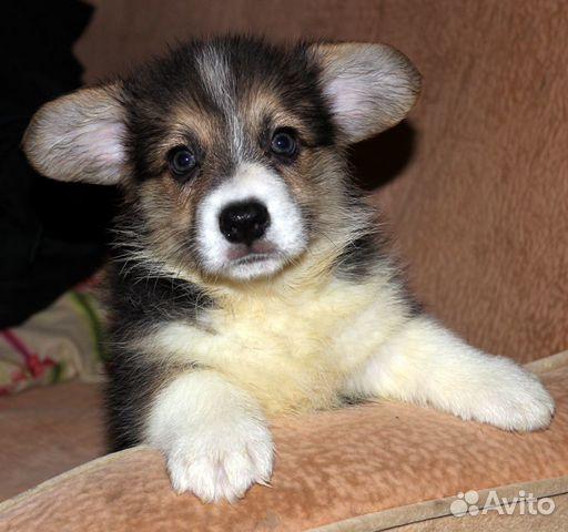 Вельш корги пемброк щенки купить на Зозу.ру - фотография № 5
