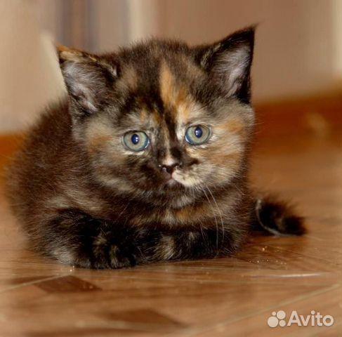 Великолепные шотландские котята и кот для вязки