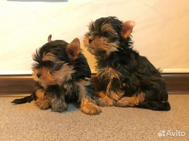 Красивые породные щенки йорка мальчики (видео) купить на Зозу.ру - фотография № 7