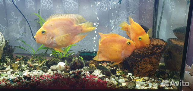 Рыбки аквариумные 89118444414 купить 2