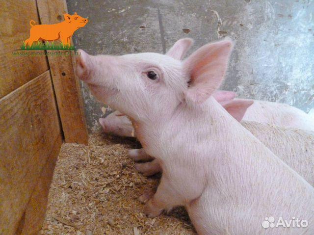 Ищу свиней  купить 1