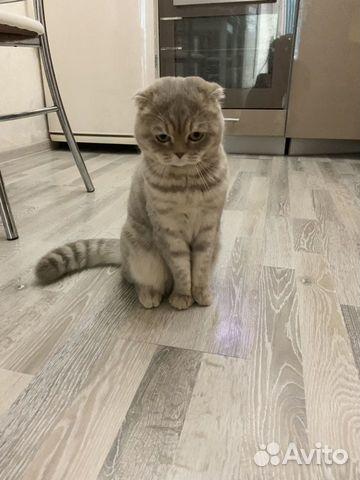 Продам шотландских котят 89787428602 купить 7