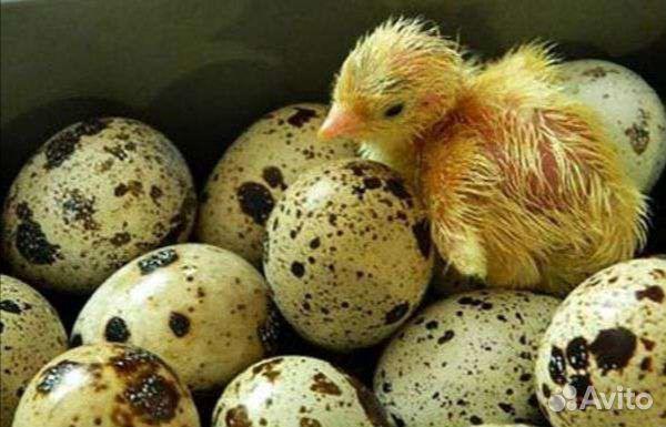 Инкубационное яйцо  89058157333 купить 1