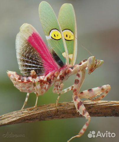 Богомолы Creobroter gemmatus  89641560398 купить 3