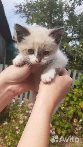 Кошка  89603458880 купить 3
