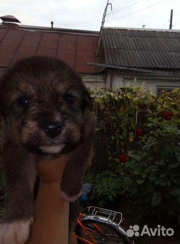 Собака  89190695666 купить 2