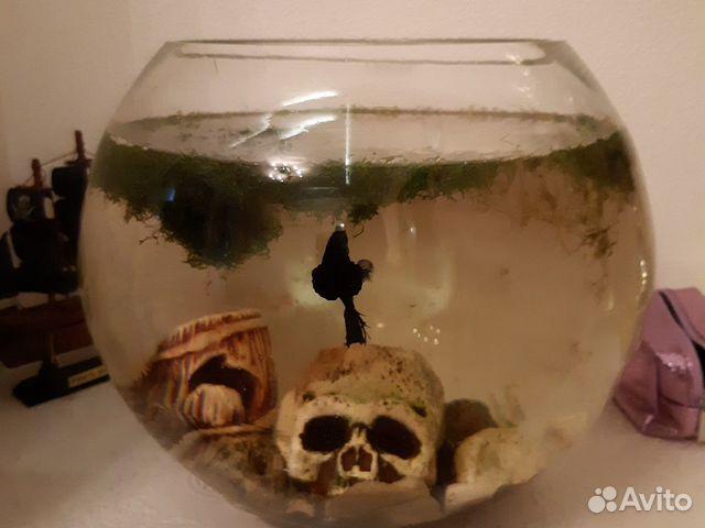 Рыбка питушок с аквариумом