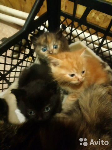 Кошка  89091702755 купить 4