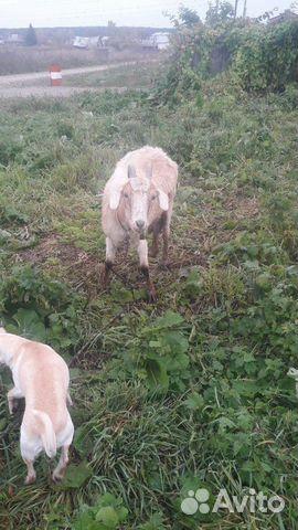 Коза и козленок  89513889597 купить 2