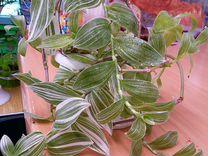 Традесканция — Растения в Саратове