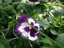 Продаю виолу — Растения в Великовечном