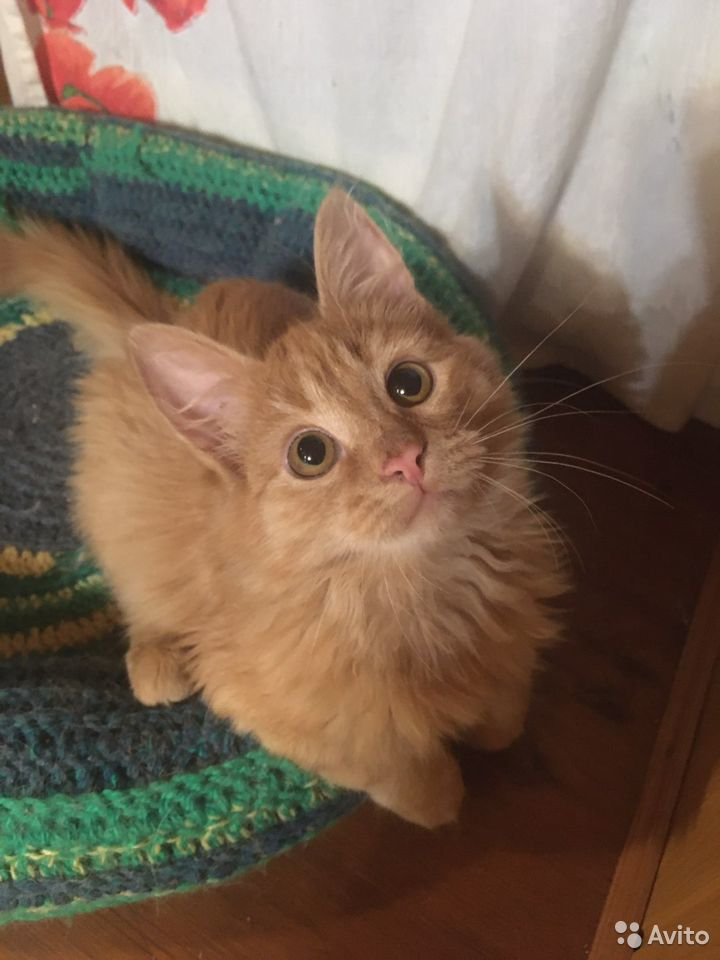 Рыжий котенок  89276181922 купить 2