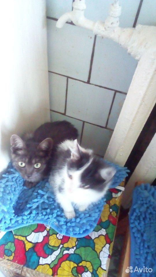 Кошка  89511582415 купить 2