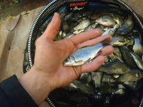 Живец Круглосуточно / Карась — Охота и рыбалка в Санкт-Петербурге