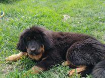 Тибетский мастиф (щенки)