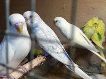 Волнистый попугай+Клетка+Корм с доставкой на дом