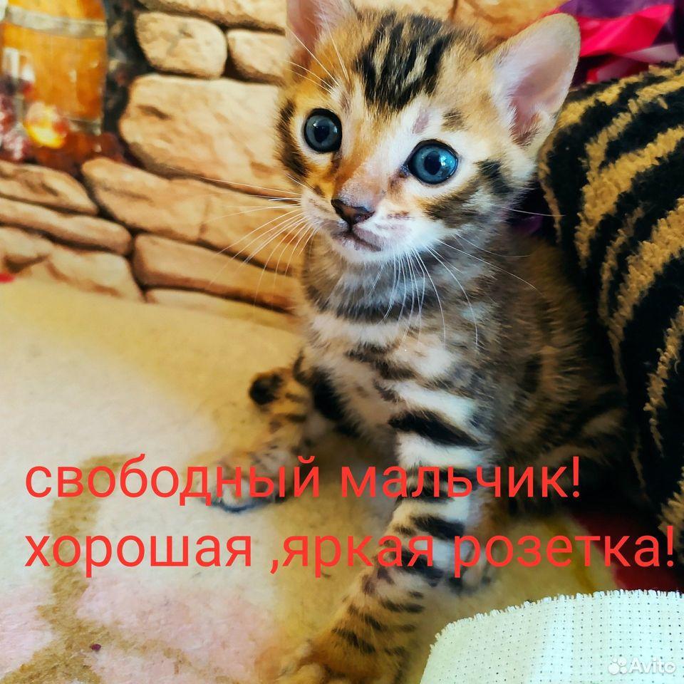 Свободный котик малыш из питомника и кот на вязку  89623779555 купить 1