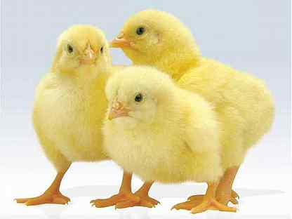 Цыплята бройлера кобб 500 произ. Чехия