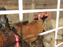 Породные инкубационные яйца, цыплята, молодки и се — Птицы в Москве
