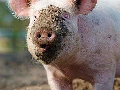 Свиньи поросята
