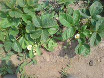 Клубника — Растения в Рязани