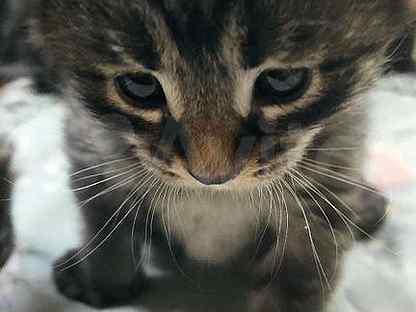 Сибирская кошка бесплатно