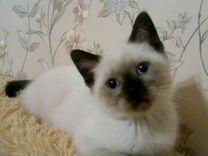 Шотландский котенок редкого окраса